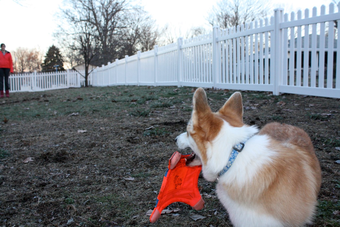 Corgi playing fetch