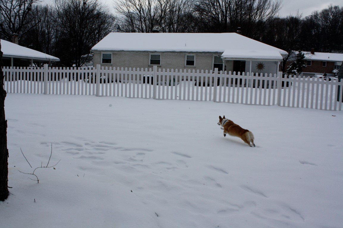A Corgi runs in the backyard
