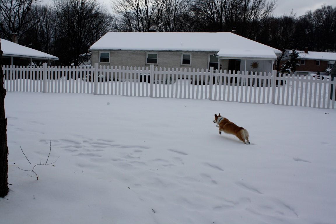 A Corgi runs in the backyard
